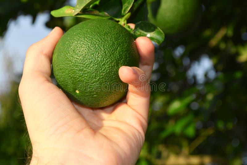 Frutta di raccolto immagine stock libera da diritti