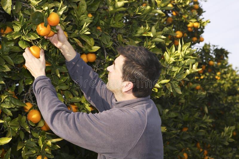 Frutta di raccolto della raccolta del coltivatore del campo dell'albero arancione fotografie stock libere da diritti