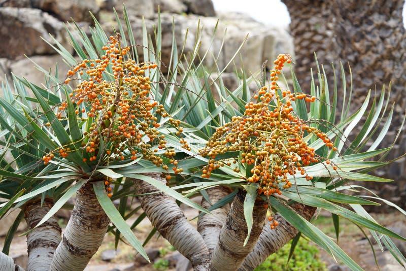 Frutta di una dracena delle Canarie fotografia stock libera da diritti