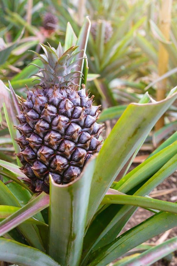 Frutta dolce Ananassi in crescita in una serra nell'isola di San Miguel, Ponta Delgada, Portogallo L'ananas è un simbolo immagini stock libere da diritti