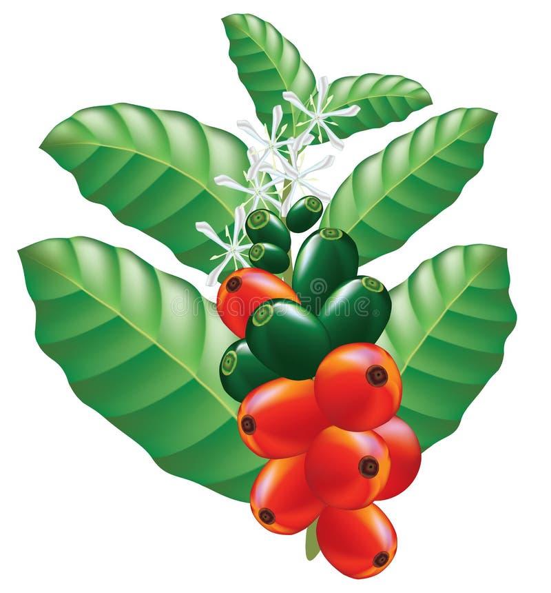 Frutta e fiori della pianta del caffè. illustrazione vettoriale