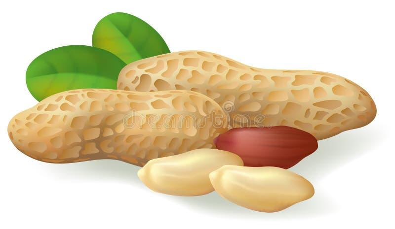 Frutta e fogli dell'arachide. illustrazione di stock