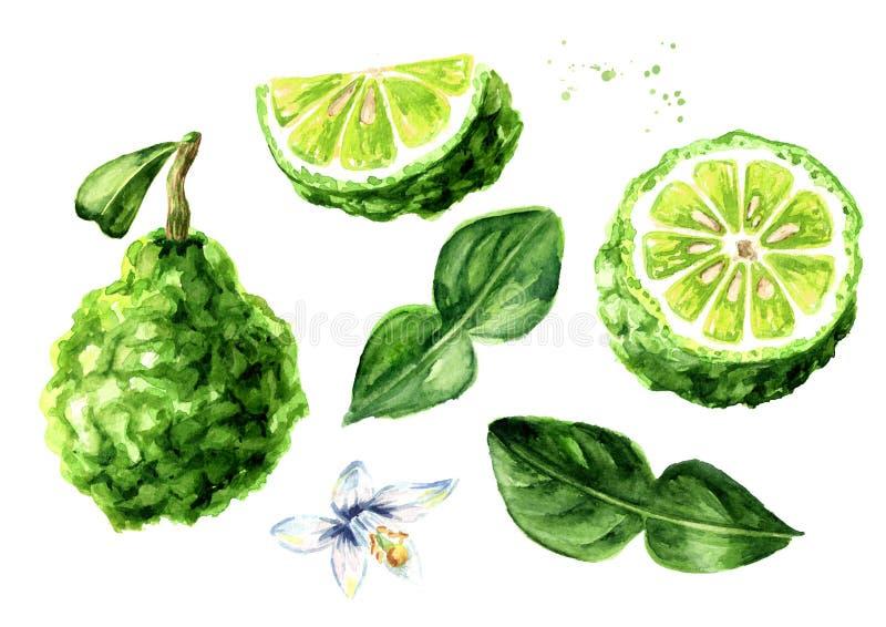 Frutta fresca del bergamotto con l'insieme della foglia Elementi di disegno grafico Illustrazione disegnata a mano dell'acquerell immagini stock libere da diritti