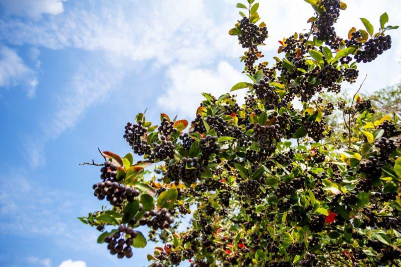 Frutta fresca del chokeberry nero (aronia) fotografia stock libera da diritti