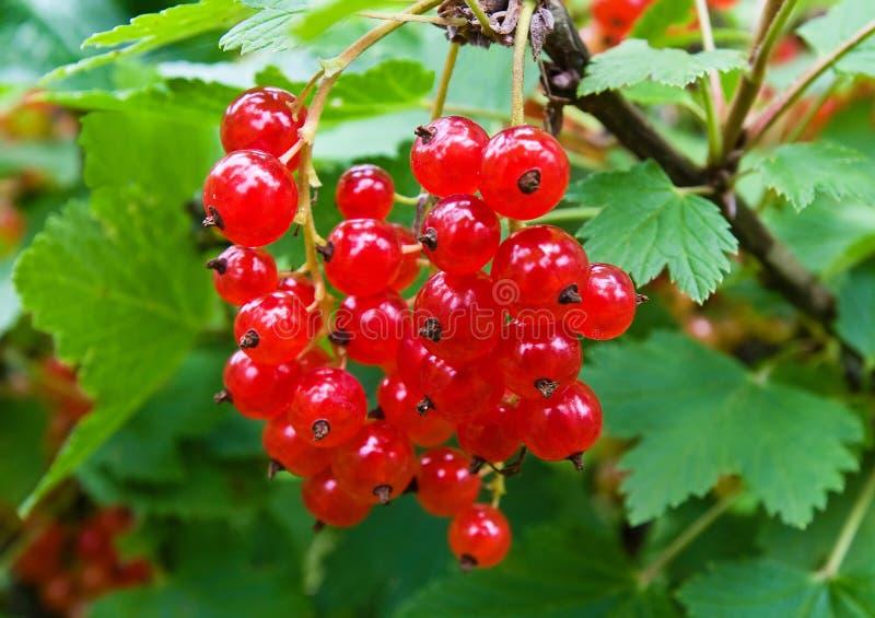 Frutta fresca del ribes immagine stock