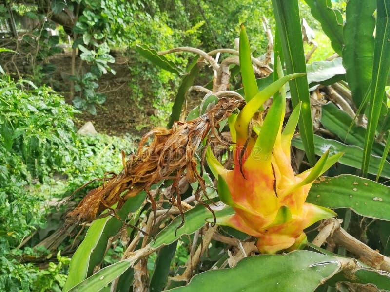 Frutta gialla del drago fotografia stock libera da diritti