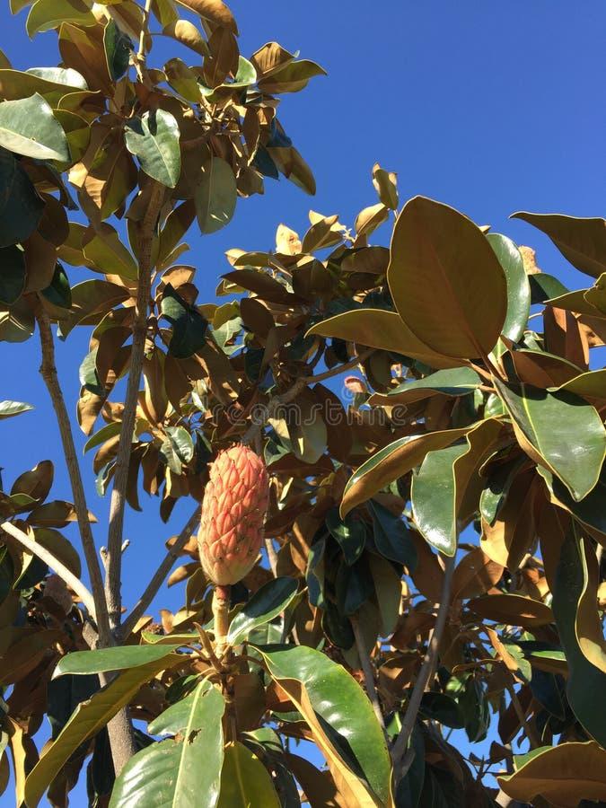 Frutta grandiflora della magnolia fotografia stock