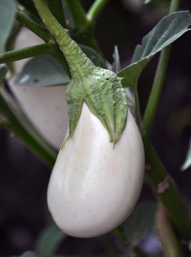 In frutta imbussola la melanzana white_2 immagini stock libere da diritti
