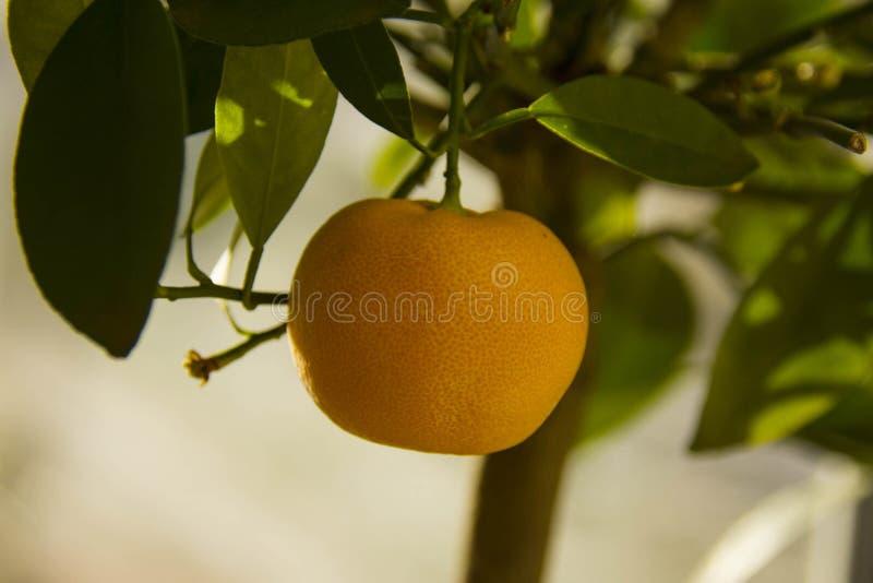 Frutta matura del calamondino fotografie stock libere da diritti