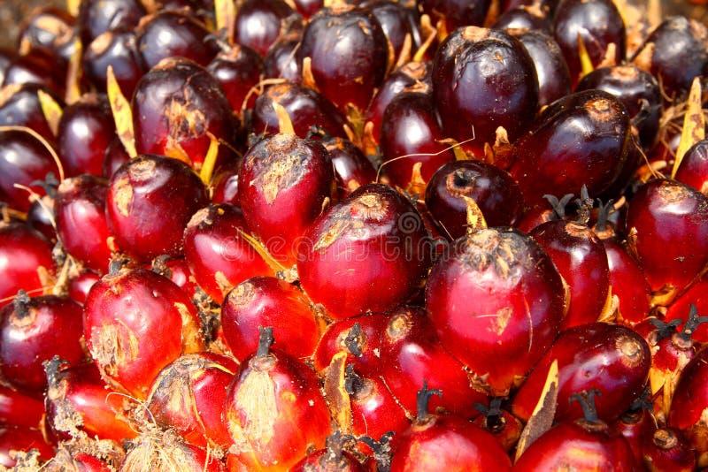 Frutta matura della palma da olio fotografie stock