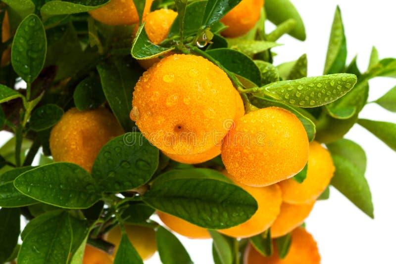 Frutta matura sull'albero fotografia stock libera da diritti