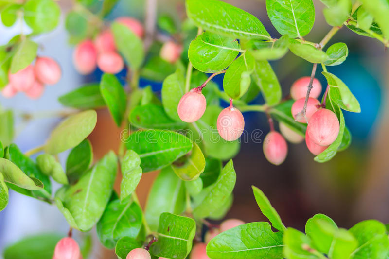 Frutta organica di Karanda (carandá del Carissa) sull'albero da vendere al immagini stock libere da diritti