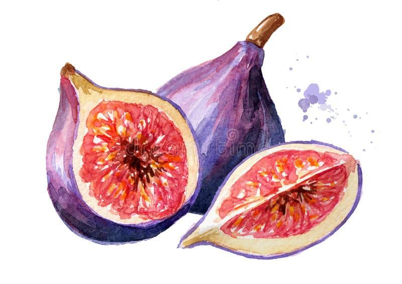 Frutta porpora matura fresca del fico Illustrazione disegnata a mano dell'acquerello, isolata su fondo bianco fotografia stock libera da diritti