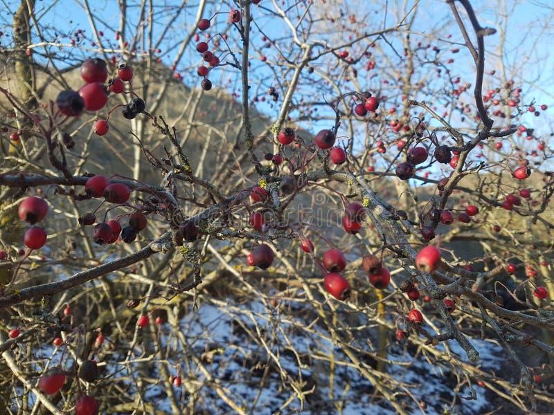 Frutta rossa del cratego fotografie stock