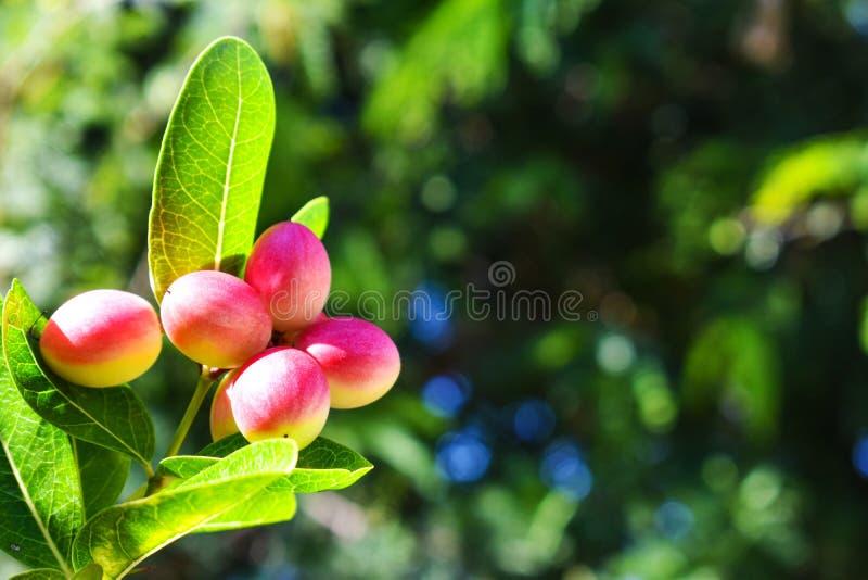 Frutta rossa di miracolo sull'albero con le foglie verdi, isolate con fondo vago immagini stock libere da diritti
