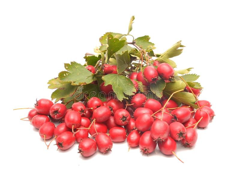 Frutta rossa matura di cratego fotografia stock libera da diritti