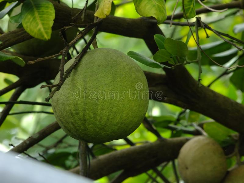 Frutta sana del pomelo fotografia stock libera da diritti