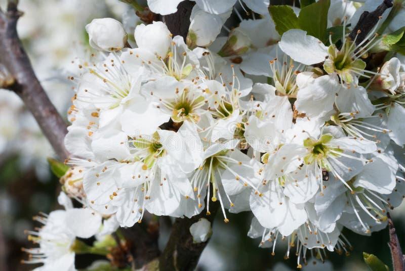 Frutta selvaggia della molla del dettaglio del fiore della fioritura del fiore bianco dell'arbusto della pianta della prugnola di fotografie stock libere da diritti