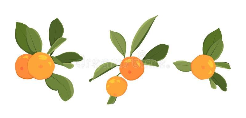 Frutta succosa organica dell'agrume arancio maturo del mandarino del mandarino della clementina sulle foglie verdi del ramo Eleme royalty illustrazione gratis