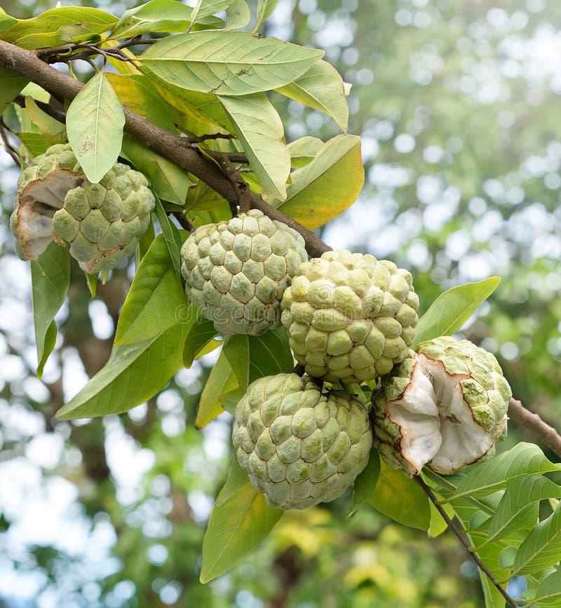 Frutta sull'albero verde nel giardino, frutta tropicale della mela cannella immagini stock