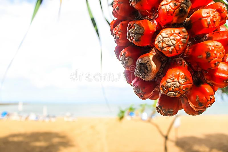 Frutta tropicale saporita fragrante succosa matura di odoratissimus del Pandanus fotografia stock