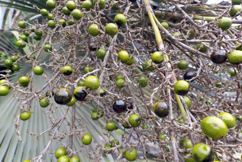 Frutta verde della palma immagine stock