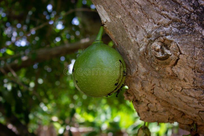 Frutta verde della zucca a fiaschetta sull'albero fotografia stock libera da diritti