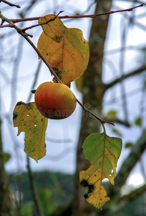 Frutta vietnamita, frutta croccante del cachi fotografia stock libera da diritti