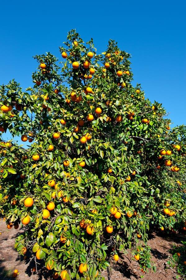 Frutteto immagine stock