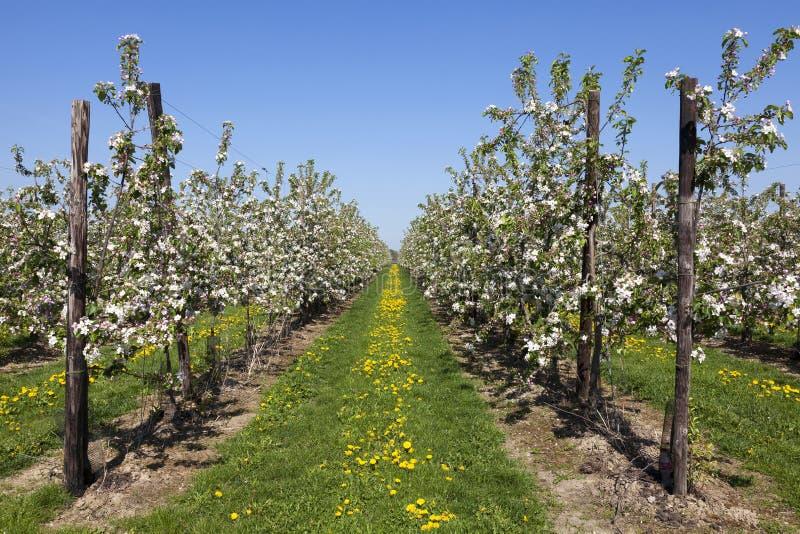 Frutteto con gli alberi da frutto in fiore immagine stock immagine di giardino molla 40007977 - Prezzi alberi da giardino ...