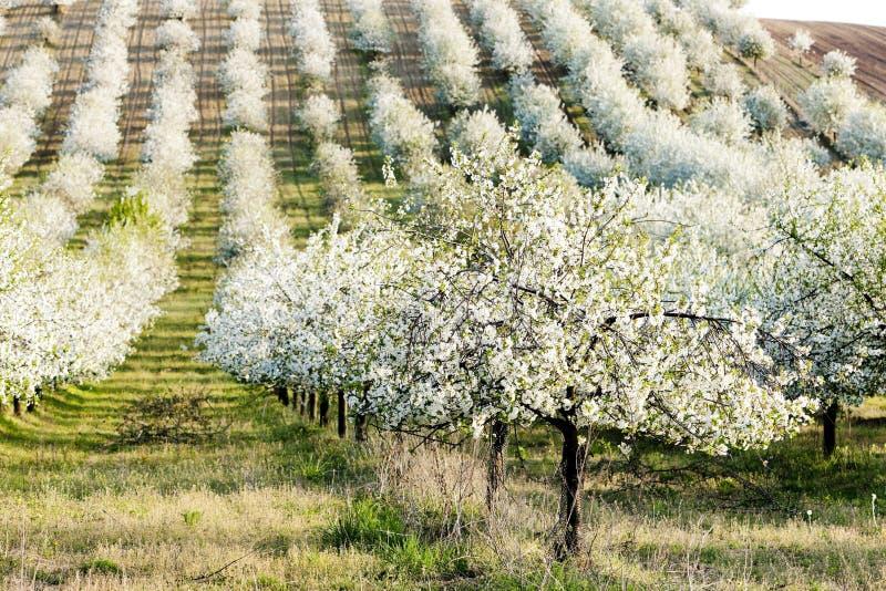 Frutteto di fioritura fotografia stock libera da diritti