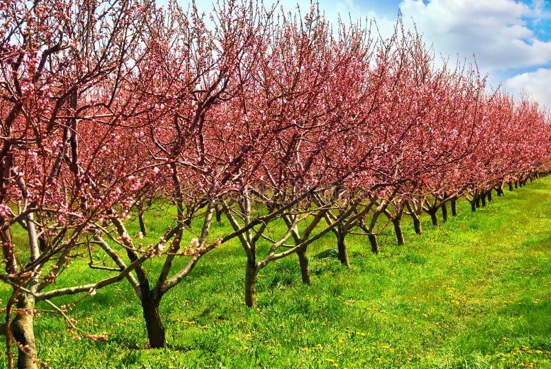 Frutteto di frutta immagini stock libere da diritti