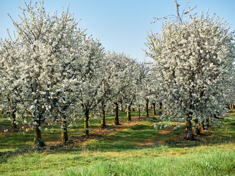 Frutteto di frutta con la fila degli alberi di fioritura - di melo con i fiori Prato inglese un giorno di molla fotografia stock libera da diritti