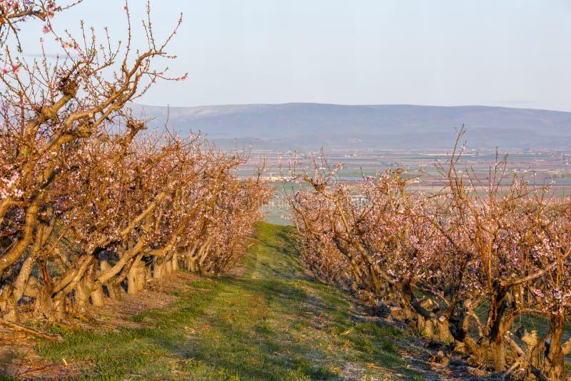 Frutteto di frutta dell'Idaho con gli alberi in piena fioritura di mattina fotografia stock
