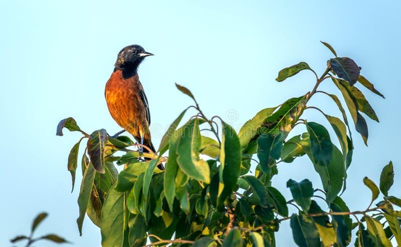Frutteto Oriole Songbird appollaiata su un cespuglio immagine stock libera da diritti
