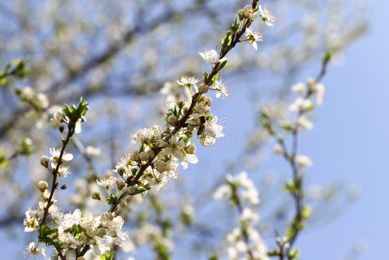 Frutteto sbocciante in primavera Albero di fioritura del frutteto della prugna con un'ape Priorità bassa della sorgente Frutteto  fotografie stock