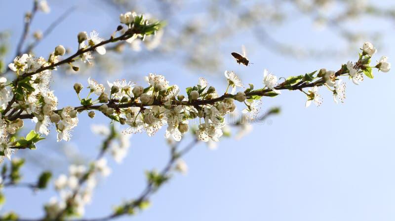 Frutteto sbocciante in primavera Albero di fioritura del frutteto della prugna con un'ape Priorità bassa della sorgente Frutteto  immagini stock libere da diritti