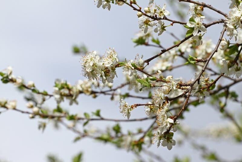 Frutteto sbocciante in primavera Albero di fioritura del frutteto della prugna su un fondo del cielo blu Priorità bassa della sor fotografia stock libera da diritti