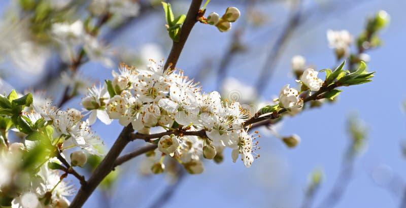 Frutteto sbocciante in primavera Albero di fioritura del frutteto della prugna su un fondo del cielo blu Priorità bassa della sor fotografie stock libere da diritti