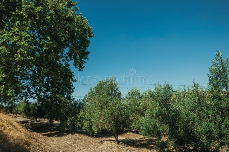 Frutteto verdeggiante con di olivo fotografie stock