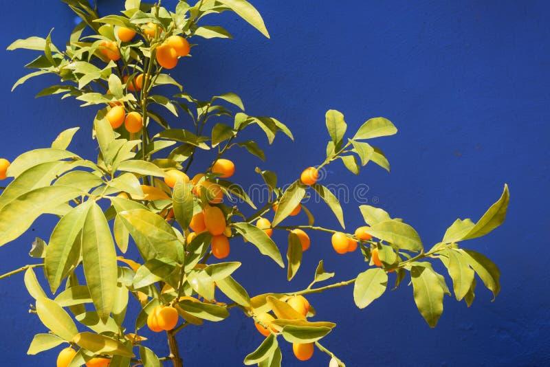 Frutti arancio maturi dei cumquats su una pianta fotografia stock libera da diritti