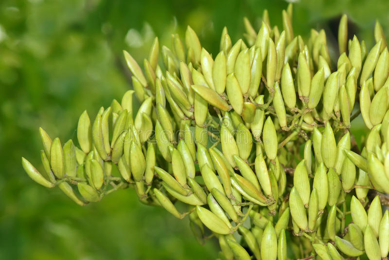 Frutti del chiodo di garofano fotografia stock libera da diritti