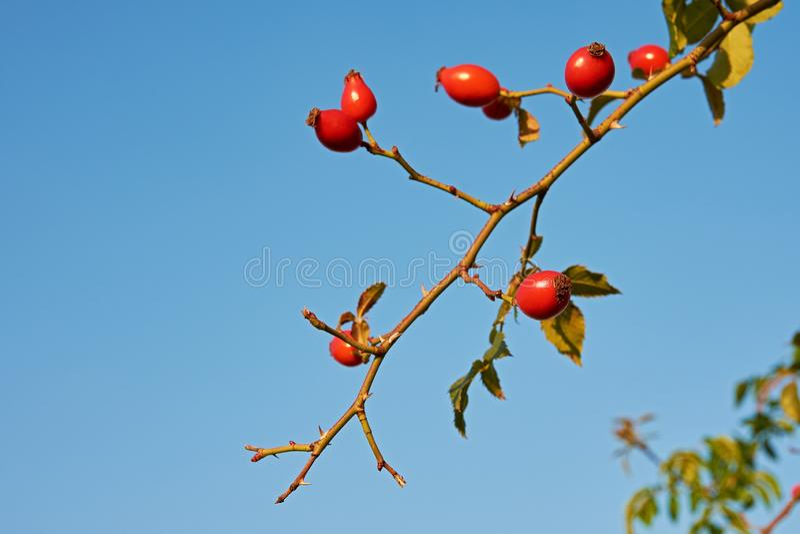 Frutti del cinorrodo curativo su un ramoscello con le spine dorsali e le foglie, con fotografia stock libera da diritti