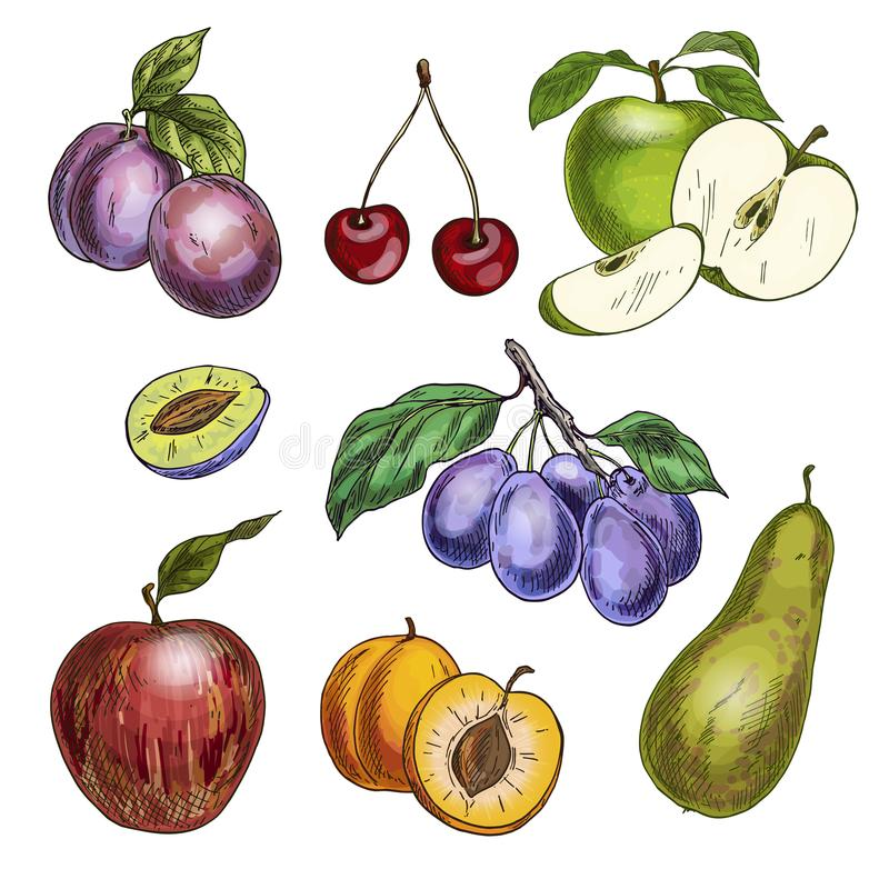 Frutti del giardino con le foglie ed i rami Ciliegia, mele, pera, prugne, albicocche royalty illustrazione gratis