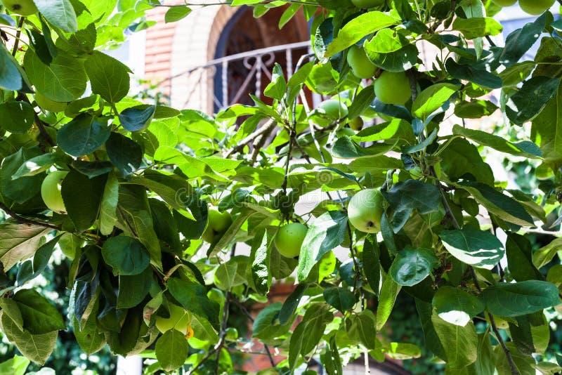 Frutti di Apple sui rami davanti alla casa di campagna fotografie stock libere da diritti