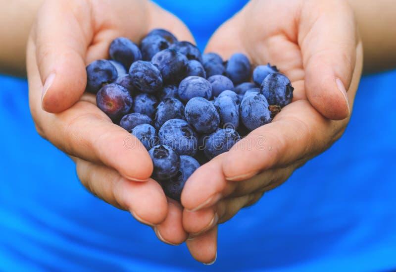 Frutti di bacche blu freschi presentati in mani della ragazza Donna vera con la manciata di mirtilli di recente selezionati Immag fotografie stock