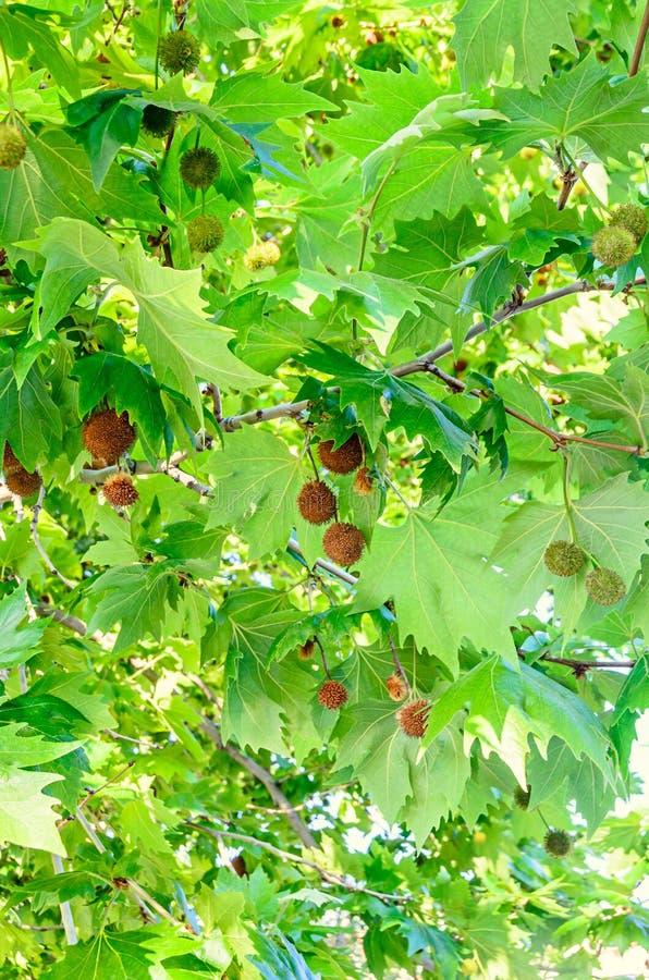 Frutti di Brown dell'albero del Platanus, rami con le foglie verdi immagini stock