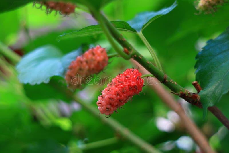 Frutti di maturazione del gelso rosso sui loro rami di albero, fuoco selettivo e fondo vago immagine stock libera da diritti