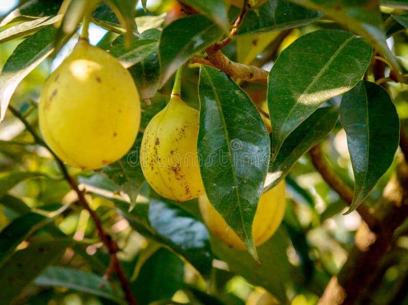 Frutti di maturazione della noce moscata nel suo albero immagini stock