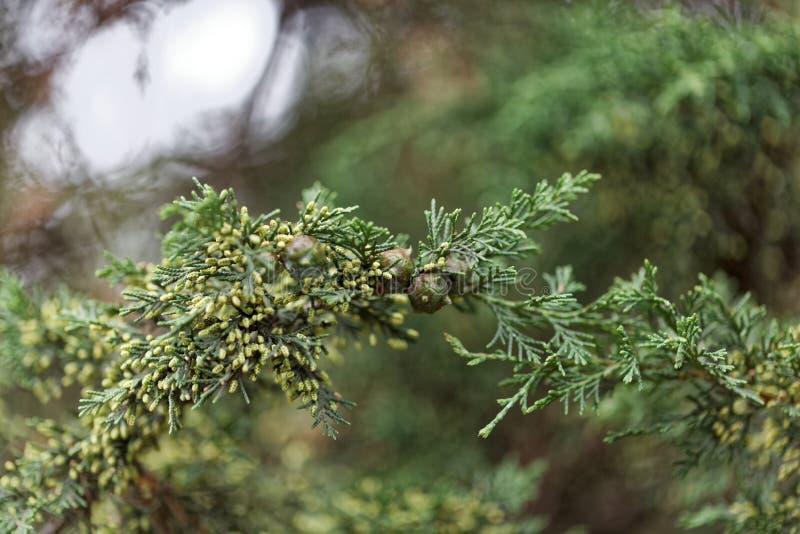 Frutti di un albero africano del ginepro fotografia stock